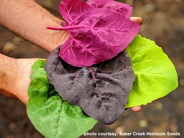 Baker Creek Heirloom Seeds - Orach, Aurora Mixed